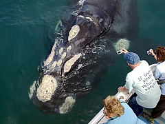 Ivanhoe Sea Safaris - Whale Watching
