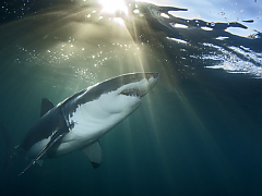 Apex Shark Expeditions - Gansbaai
