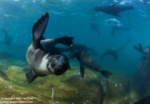 Apex Shark Expeditions - Seal Snorkelling