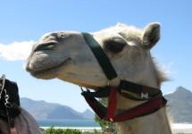 Cape Camel Rides