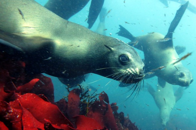 Pisces Divers swimming with seals