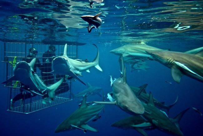 Shark Cage Diving KZN