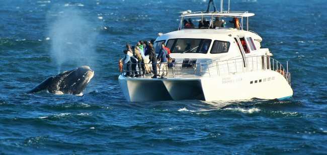 Southern Right Charters - Whale Watching