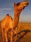 Camel Riding4