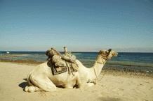 Camel Riding6
