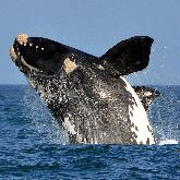Simon's Town Boat Company - Whale Watching